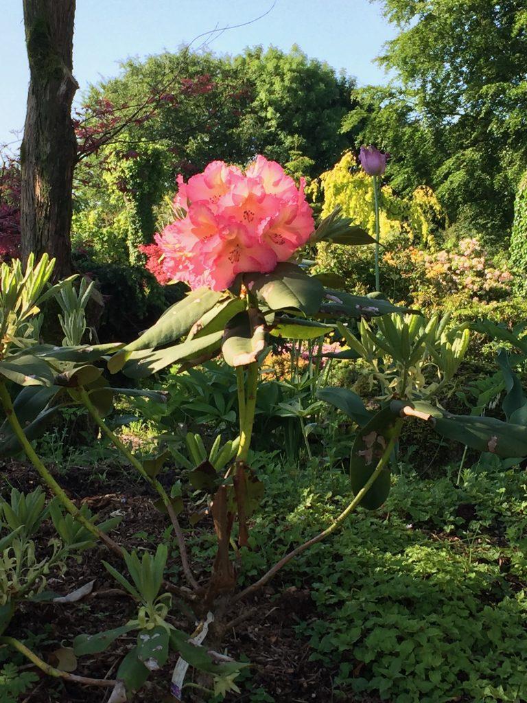 en rhododendron i största allmänhet